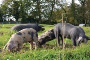 Ferme des biaux cochons