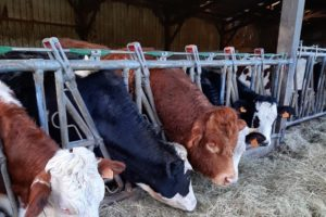 Boeufs en élevage biologique © GAEC de l'Arc-en-ciel